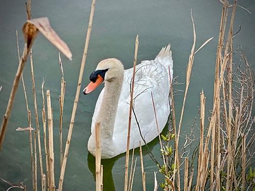 swan in the bay